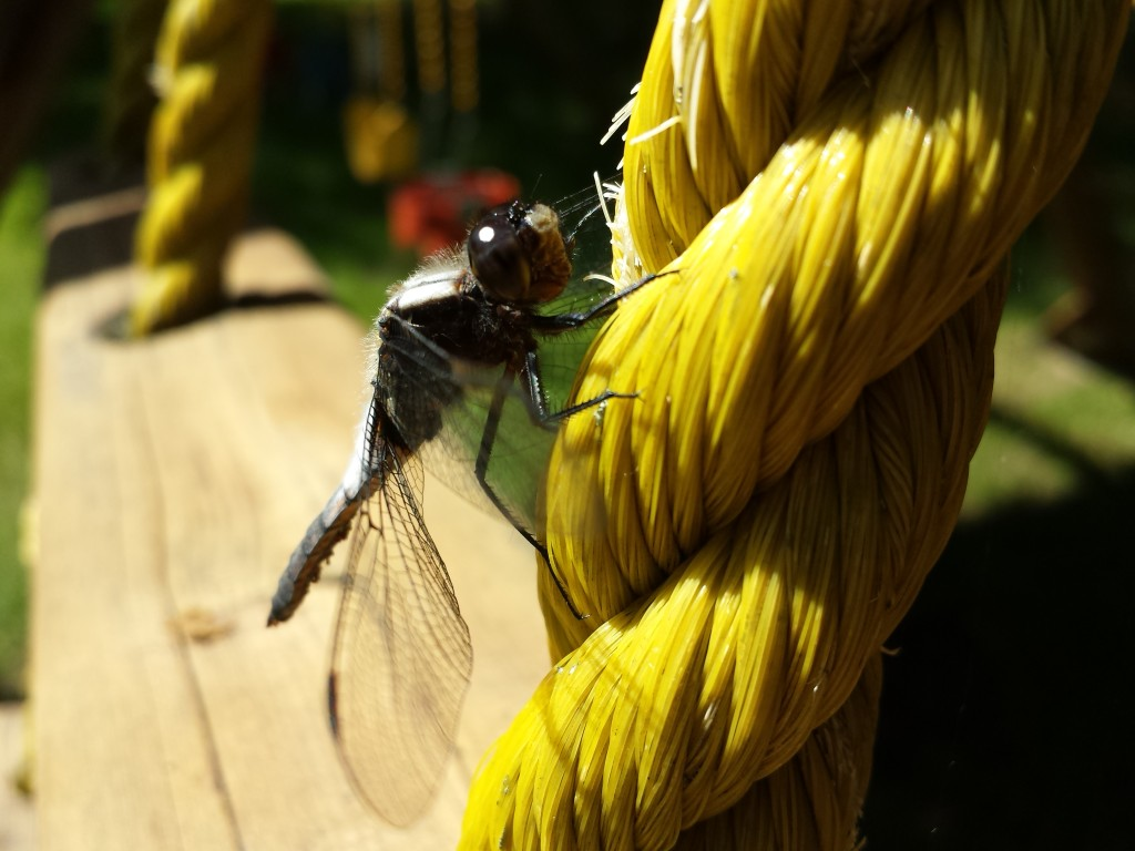Dragon Flies 03